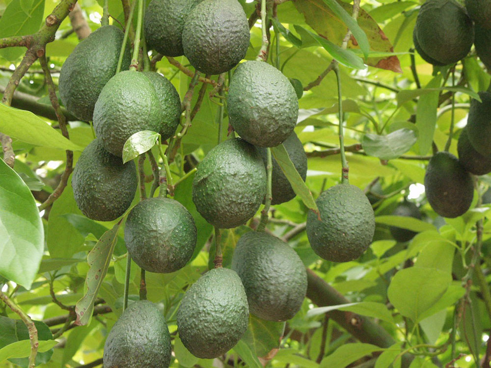 Meet the growers avocado 3 web