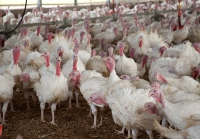The Cyclical Nature of Turkey Farming