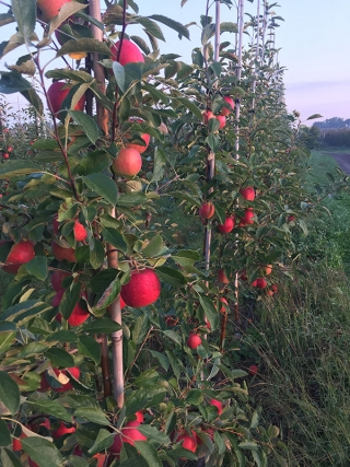 The Changing Varieties in an Apple Orchard